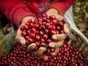 Pickers, Hands Full of Coffee Cherries, Coffee Farm, Slopes of the Santa Volcano, El Salvador by John Coletti