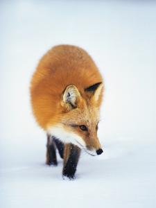 Red Fox in Snow by John Conrad