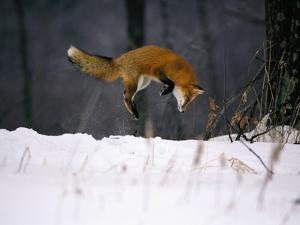 Red Fox Jumping in the Snow by John Conrad