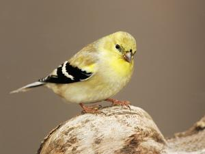 American Goldfinch (Carduelis Tristis), North America by John Cornell