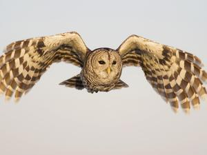 Barred Owl, Strix Varia, in Flight, USA by John Cornell