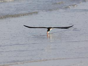 Black Skimmer (Rynchops Niger) Foraging for Fish by Skimming the Water's Surface by John Cornell