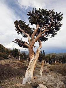 Bristlecone Pine (Pinus Aristata), Mount Evans, Rocky Mountains, USA by John Cornell
