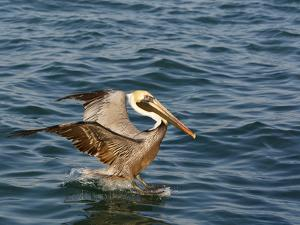 Brown Pelican on Water Surface (Pelicanus Occidentalis) by John Cornell