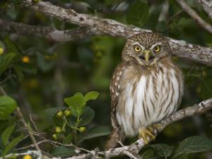 Ferruginous Pygmy Owl, Glaucidium Brasilianum, Texas, USA by John Cornell