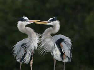 Great Blue Heron Pair Courtship Behavior, Ardea Herodias, North America by John Cornell