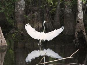 Great Egret (Ardea Alba) in Big Cypress Swamp, Everglades, Florida, USA by John Cornell