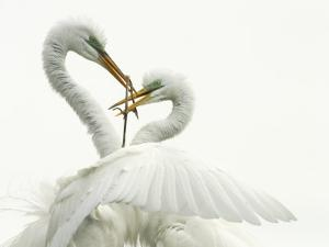Great Egret, Ardea Alba, Pair Courtship Display During the Nesting Season, Southern USA by John Cornell