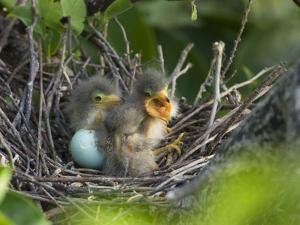 Green Heron (Butorides Virescens) Chicks in Nest and One Unhatched Egg, Florida, USA by John Cornell