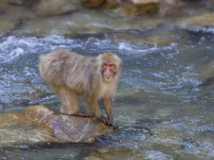 Japanese Macaque or Snow Monkey (Macacfuscata) They are Famous for Soaking in the Warm Pools by John Cornell