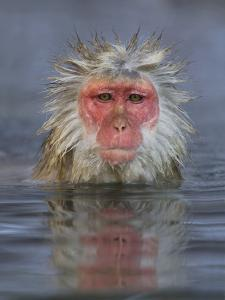 Japanese Macaque by John Cornell