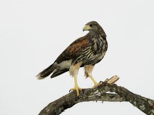 Juvenile Harris's Hawk, Parabuteo Unicinctus, Western USA by John Cornell