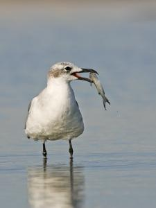 Laughing Gull, Larus Atricilla, with Fish in its Mouth, Eastern North America by John Cornell