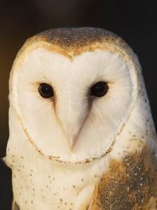 Male Barn Owl (Tyto Alba), USA by John Cornell