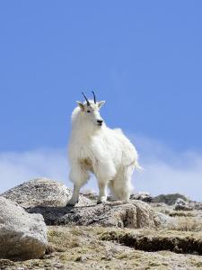 Mountain Goat (Oreamnos Americanus), Colorado, USA by John Cornell
