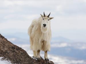 Mountain Goat (Oreamnos Americanus), Rocky Mountains, North America by John Cornell