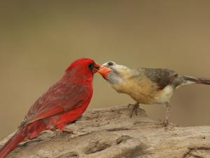 Northern Cardinals, Cardinalis Cardinalis, Food Exchange During the Breeding Season. Eastern USA by John Cornell