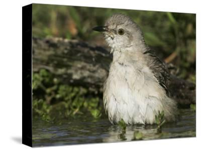 Northern Mockingbird Bathing in Water, Mimus Polyglottos, North America