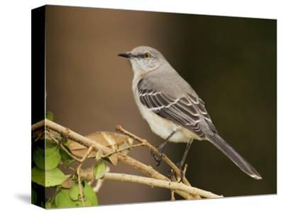 Northern Mockingbird, Mimus Gundlachii, . USA