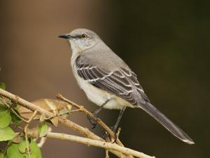 Northern Mockingbird, Mimus Gundlachii, . USA by John Cornell