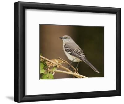 Northern Mockingbird, Mimus Gundlachii, . USA