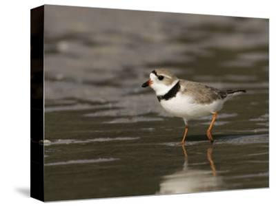 Piping Plover, Charadrius Melodus, an Endangered Species, North America