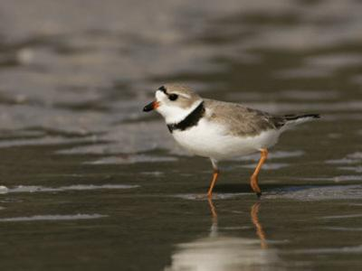 Piping Plover, Charadrius Melodus, an Endangered Species, North America by John Cornell