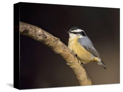 Red-Breasted Nuthatch, Sitta Canadensis, North America