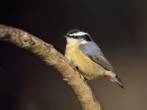 Red-Breasted Nuthatch, Sitta Canadensis, North America by John Cornell