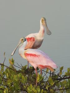 Roseate Spoonbills, Ajaia Ajaja, Florida, USA by John Cornell