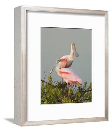 Roseate Spoonbills, Ajaia Ajaja, Florida, USA