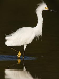 Snowy Egret (Egretta Thula) by John Cornell