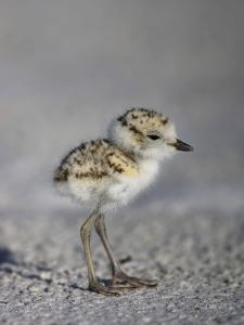 Snowy Plover, Charadrinus Alexandrinus, Five Day Old Chick Is Foraging on the Beach by John Cornell