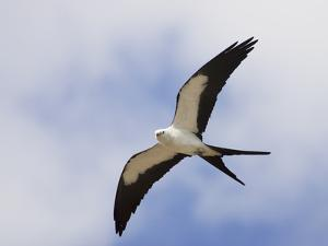 Swallow-Tailed Kite (Elanoides Forficatus) in Flight by John Cornell