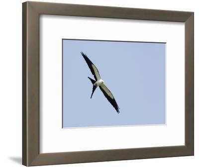Swallow-Tailed Kite Flying (Elanoides Forficatus)