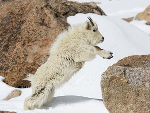 Yearling Mountain Goat Jumping onto an Alpine Rock (Oreamnos Americanus), Rocky Mountains by John Cornell