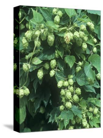Hops, Humulus Lupulus, Cones Commonly Used in Brewing Beer
