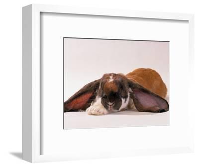 Comical Long Eared Rabbit