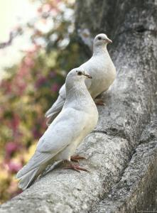 Doves Sitting on Tree Branch, in Chapultepec Park by John Dominis