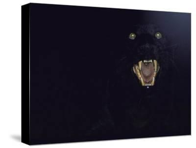 Dramatic of Black Panther, Camouflaged by Darkness, with Eyes and Open Mouth Visible