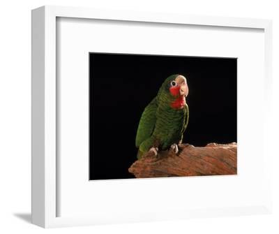 Grand Cayman Amazon Parrot
