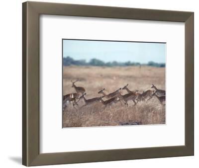 Impala, Serengeti, Tanzania, East Africa