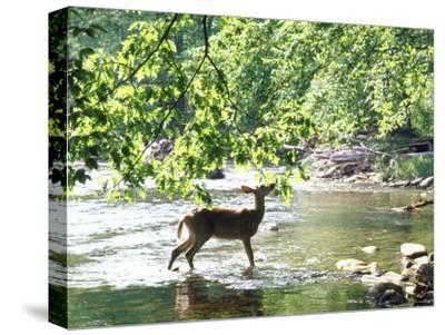 Lone White-Tailed Deer Nibbling Young Oak Leaves From Banks of Cheat River