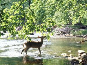 Lone White-Tailed Deer Nibbling Young Oak Leaves From Banks of Cheat River by John Dominis
