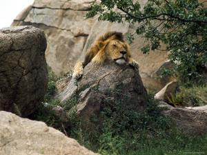 Male Lion Sleeping on a Rock in Africa by John Dominis