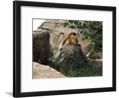 Male Lion Sleeping on a Rock in Africa