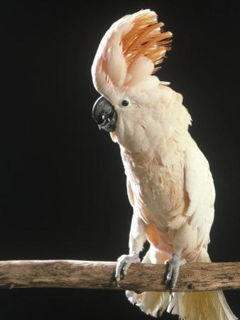Moluccan Cockatoo by John Dominis