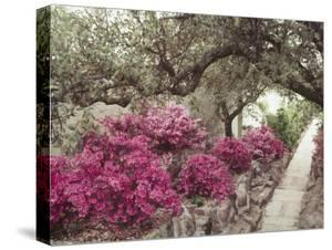 Pink Rhododendron Bushes at Chandor Gardens by John Dominis