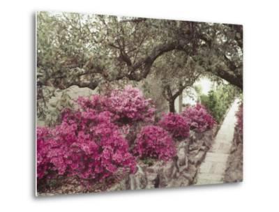 Pink Rhododendron Bushes at Chandor Gardens