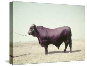 Santa Gertrudis Bull Is a Cross Between Shorthorns and Brahmans and Is Bred at King Ranch by John Dominis